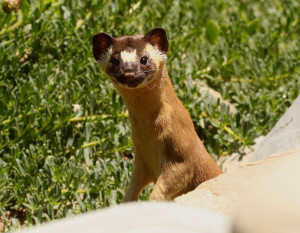 California Long-Tailed Weasel