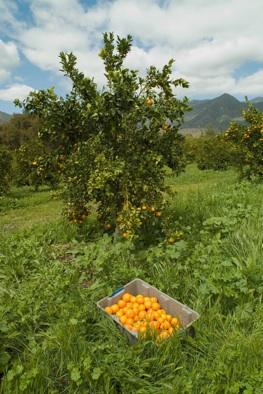 tangerine2