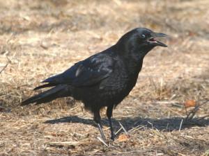American Crow (1)