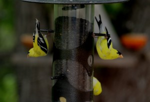 American Goldfinch 8