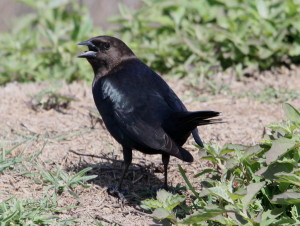 Brown-headed Cowbird (4)