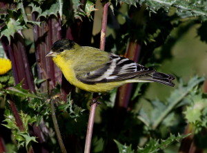 Lesser Goldfinch (5)