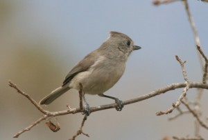 Oak Titmouse 2