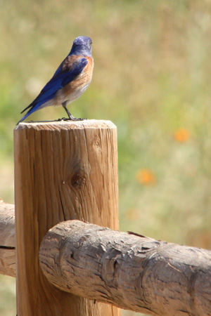 western bluebird on fence cropped