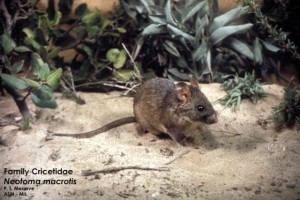 Big-eared woodrat