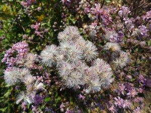 acortia-microcephala-seeds-2628