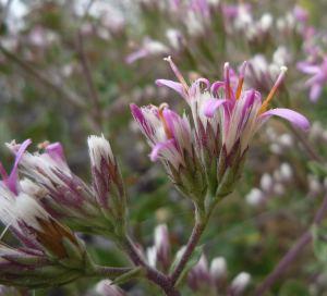 acourtia-microcephala-flowers-1