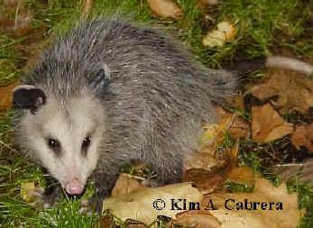 Virginia Opossum - OVLC : OVLC