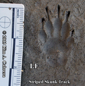 striped skunk track - left front foot
