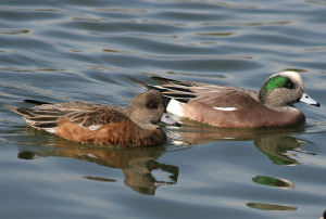 American Wigeons, female and male