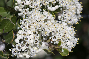 Dreaming of a White Ceanothus