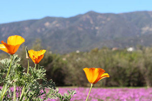 Free Wildflower Walk at the Ojai Meadow Preserve