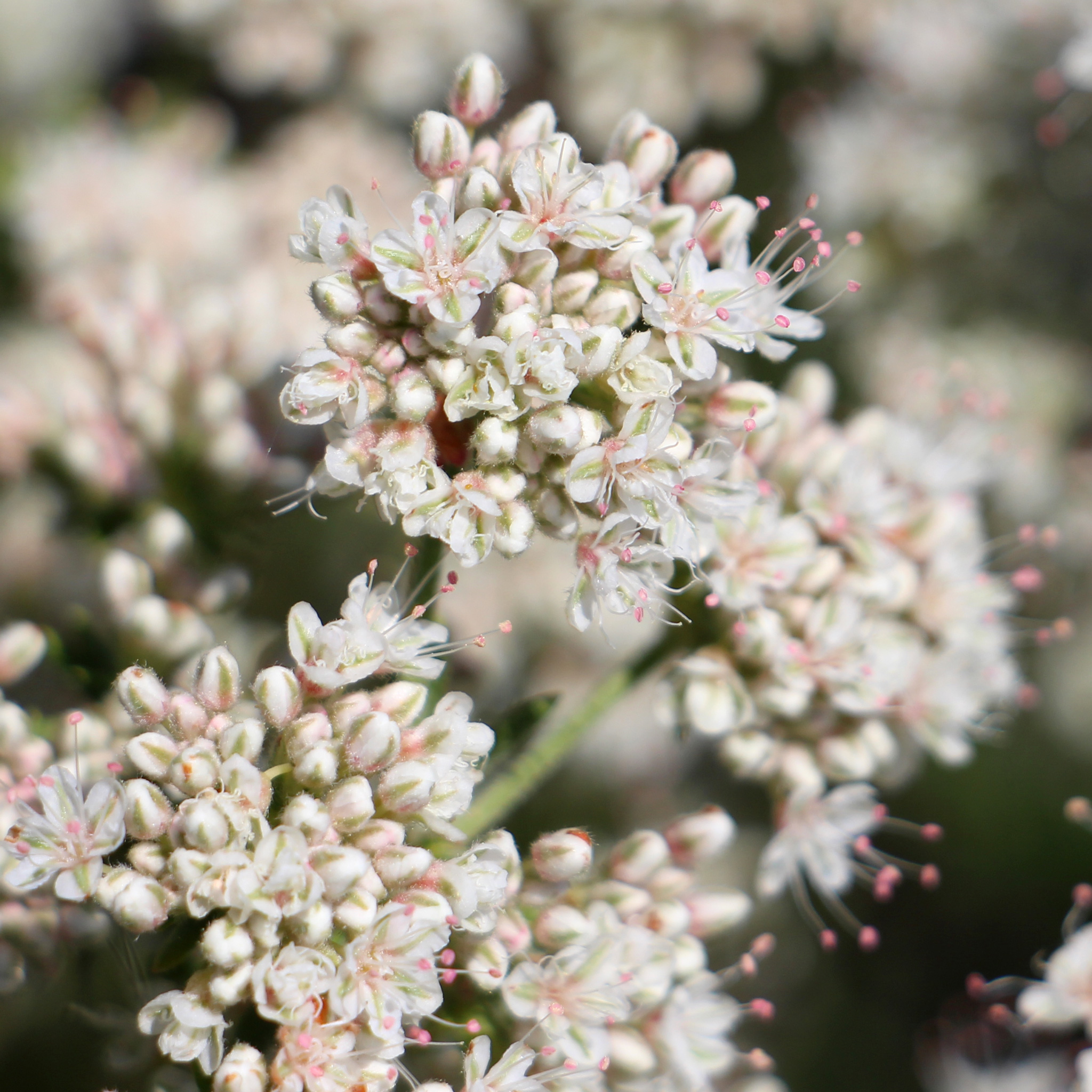 California Native Flowering Plants and Wildflowers - OVLC : OVLC