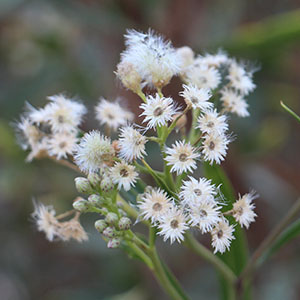California Native Flowering Plants And Wildflowers Ovlc Ovlc