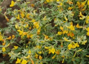 deer-weed-flower