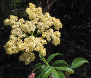 elder-berry-flower