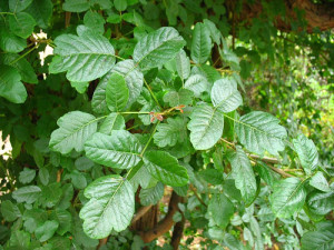 green-poison-oak