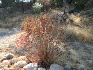 red-poison-oak