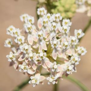 Narrowleaf-Milkweed