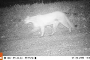 Trail cameras reveal secret lives of Ojai wildlife