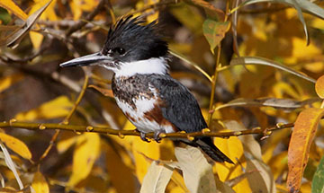 website_featured_kingfisher