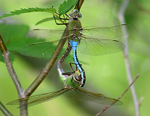 Dragonflies and Damselflies - OVLC : OVLC