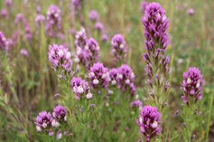 Native Plants for your Garden